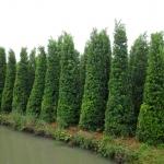 ขายต้นไทรเกาหลี ไทรประดับ ทำรั้ว สูง 3-3.5 เมตร